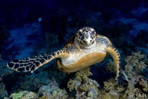 2019 november Hawsbll turtle on Menjangan sland
