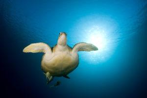 2019 november 2019 november Hawsbll turtle on Menjangan sland