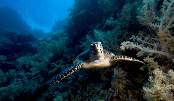 Hawksbill turtle_Eretmochelys-imbricata