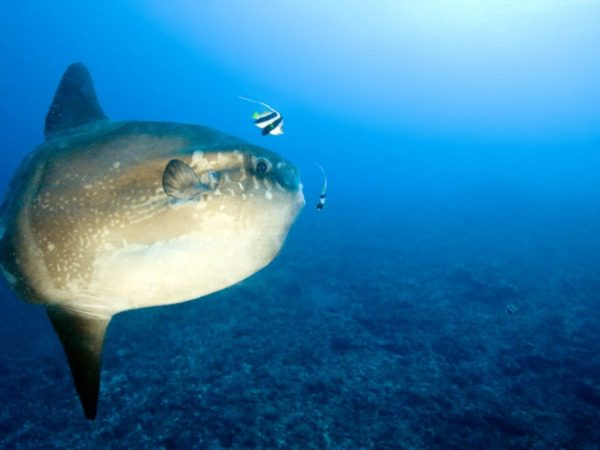Ocean sunfish (Mola mola) in blue water being cleaned